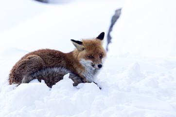 Volpe martoriata nella neve