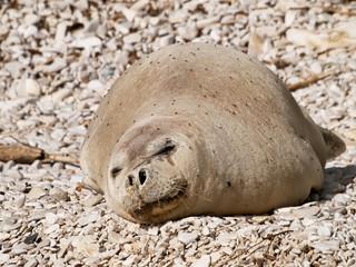 Mediterranean monk seal