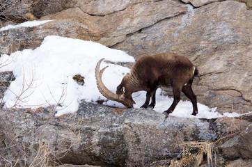 Stambecco sulla roccia, neve, mangia