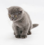 Small blue kitten Scottish Fold sitting looking down
