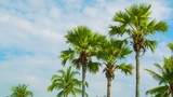 Video 1920x1080 - Tropical palm trees on sky background