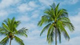 Video 1920x1080 - Coconut palms swaying on sky background