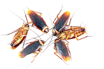 Many Cockroaches isolated.