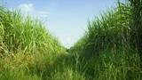 Video 1920x1080 - Sugarcane field. Thailand