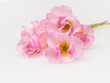 八重のプリムラの花束