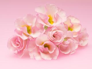 薔薇のようなプリムラ