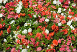 Colorful flowering begonias