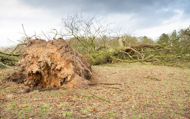 Storm damaged fallen tree with exposed roots