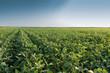 growth soybean