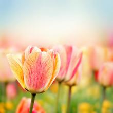 Kwiaty wiosny tulipan