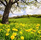 Fototapeta Auszeit im Frühling: Löwenzahnwiese unter blühendem Kirschbaum