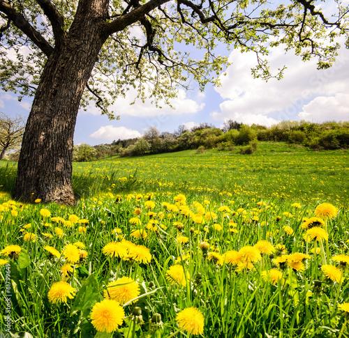 In de dag Paardebloem Auszeit im Frühling: Löwenzahnwiese unter blühendem Kirschbaum