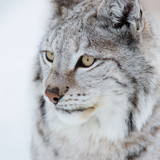 Close up of a lynx
