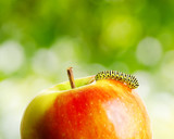 Green caterpillar on red apple