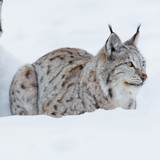 Lynx laying in the snow