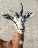 Close up of the Head of a Dama Gazelle