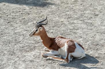 Dama Gazelle Sitting