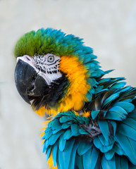 Close up of a Blue and Gold Macaw