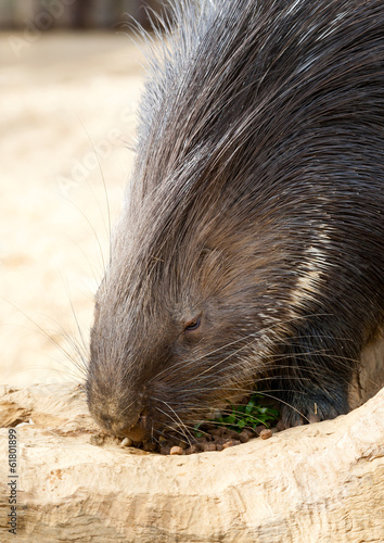 Porcupine Eating