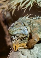 Green Iguana Resting