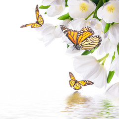 White tulips with green grass and  butterfly. Floral background.