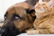 German Shepherd Dog and cat together cat and dog together lying