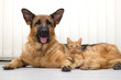 German Shepherd Dog and cat together cat and dog together lying - 61804072