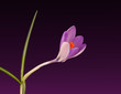 Crocus - beautiful purple and orange spring flower background