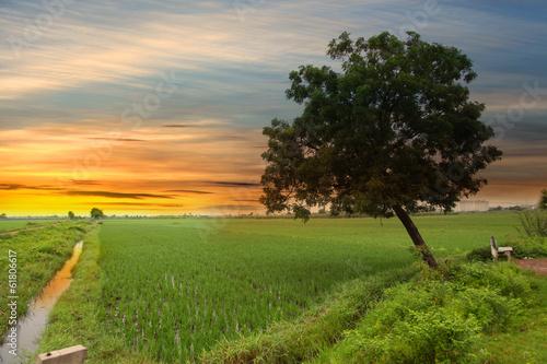 Paddy fields with single tree