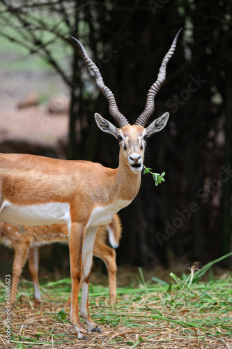 Close up shot of Indian black buck