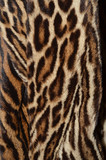 closeup of amur leopard fur