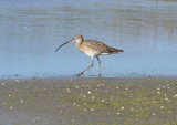 rare curlew walking in the marsh landscape