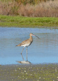 rare curlew posing in the marsh background