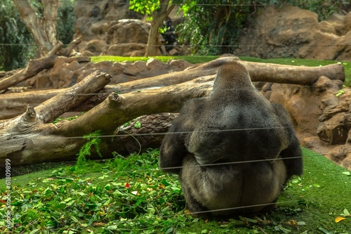 A large male gorilla sitting behind security glass