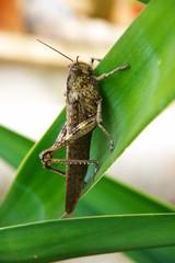 Cavalletta, Sicula, natura, insetto, verdi, ocre,marroni