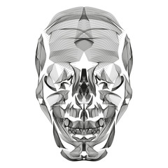 Human Skull abstract line art illustration isolated on white