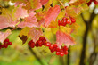 Branch of viburnum