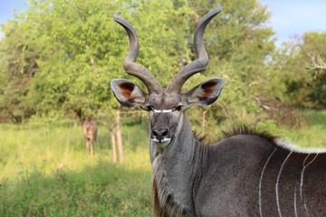 African Kudu Bull