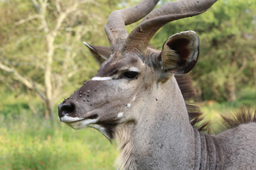Large Male Kudu