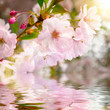 Obrazy na płótnie, fototapety, zdjęcia, fotoobrazy drukowane : Kirschblüten mit Reflektion im Wasser