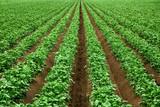 Fototapeta Ackerbau mit kräftigem Grün