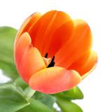 Aufgeblühte Tulpe in Nahaufnahme