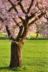 Blühender Kirschbaum auf Rasen