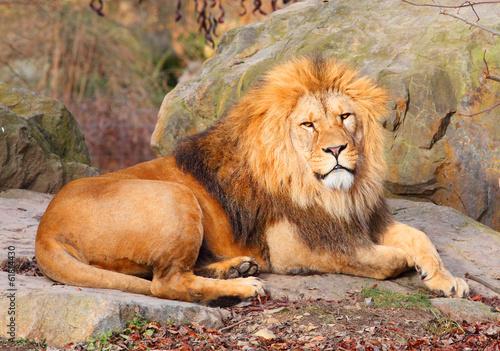 In de dag Leeuw The African Lion ( Panthera leo leo ) male.