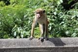 Singe Macaque du Sri Lanka