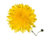 yellow chrysanthemum is  isolated on white background