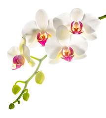 white with red   phalaenopsis with is isolated on white backgrou