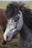 Iceland. Black and white icelandic horse head.