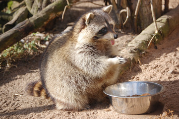 Racoon showing its tongue