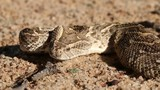 Portrait of defensive puff adder with flicking tongue